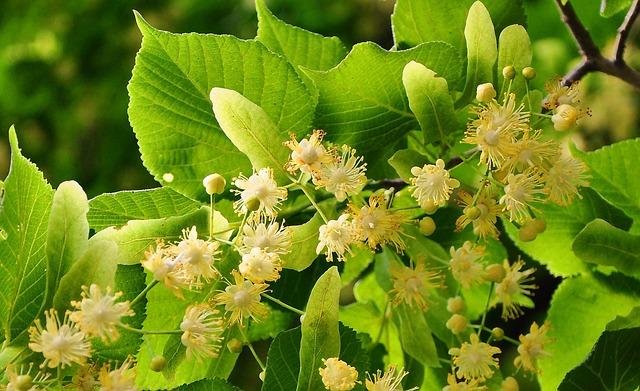 DOmowe sposoby napar z kwiatu lipy